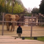 At the wild animal park the trainers stay behind a barrier while training the elephants.