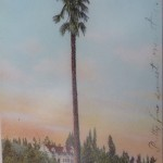 A old post card showing the Roosevelt Palm Tree.