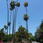 A view of the corner of Victoria Avenue and Myrtle Avenue. The Roosevelt Palm is the one on the far right.